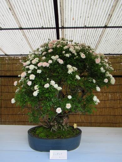バラ盆栽.jpg