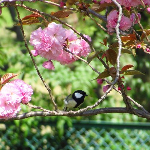 八重桜とシジュウカラ.jpg