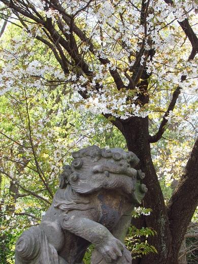 山桜 4月6日.jpg